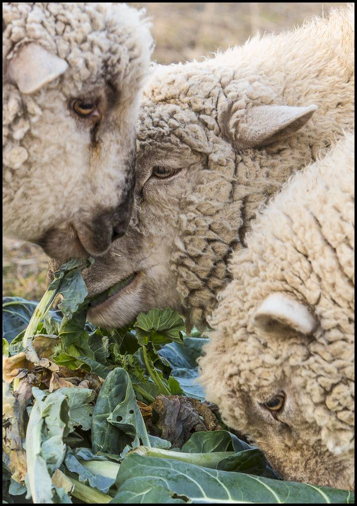 Our sheep, short on pasture - and ready for their next move - snack on a large bundle of brussel sprout leaves past their prime.