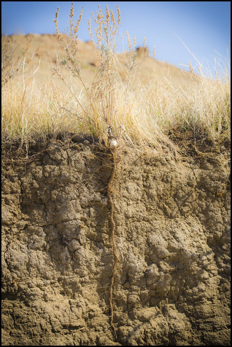 An old streambank on the Antelope Springs Ranch reveals the soil profile and how deep roots can penetrate, even though layers of tough, degraded soils.  Soil is the most valuable asset on this ranch, so they work to rebuild soil health.