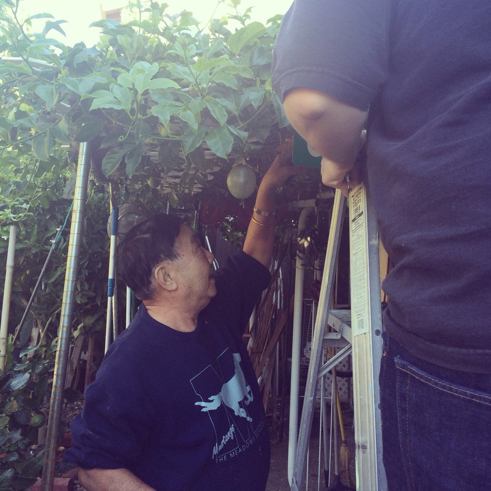 My dad instructing Patrick which passion fruits to cut off while Patrick's on the ladder.