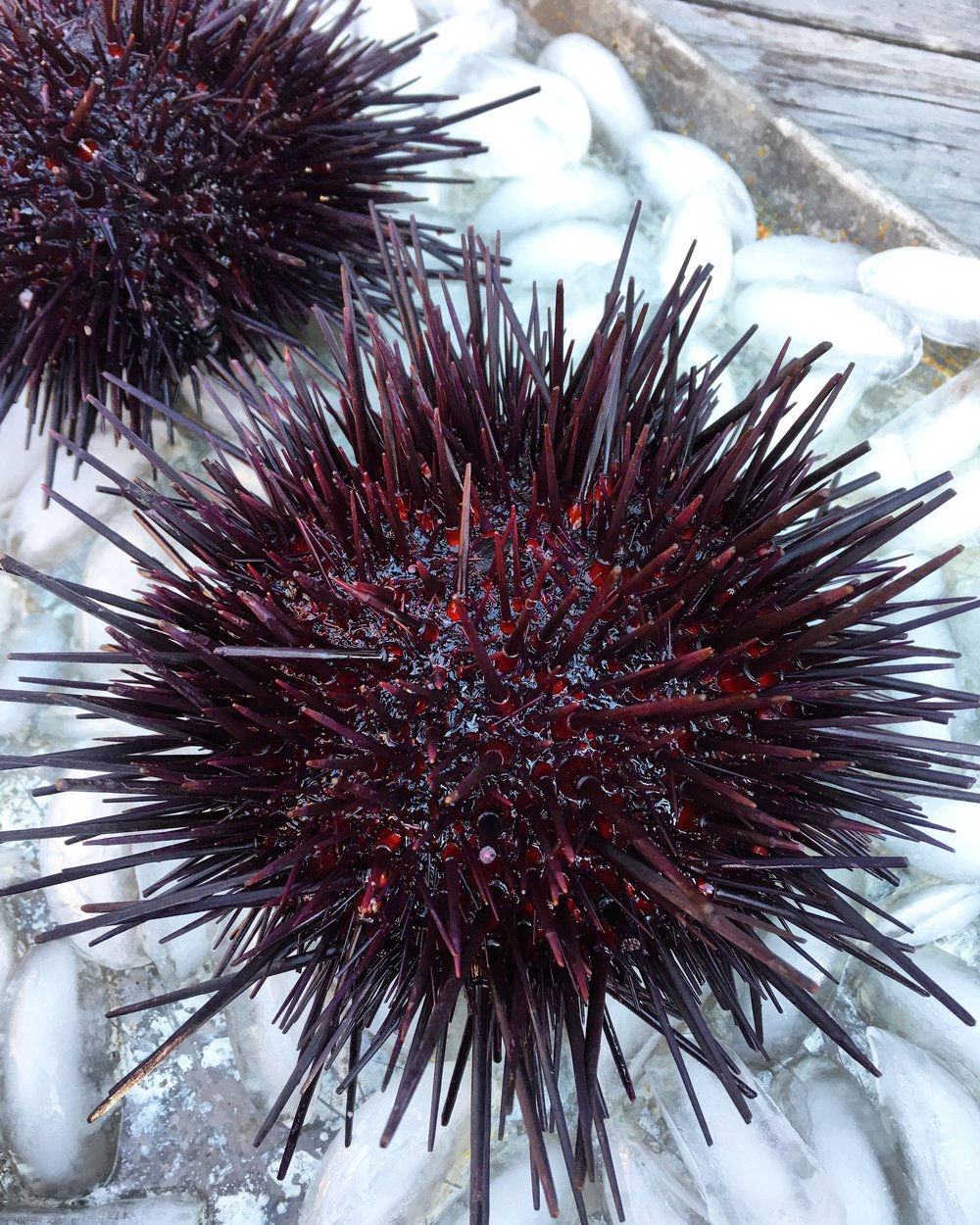 Fresh Catch CSF - Sea Urchin