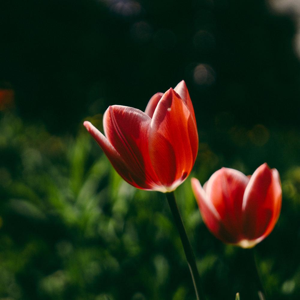 tulip squared