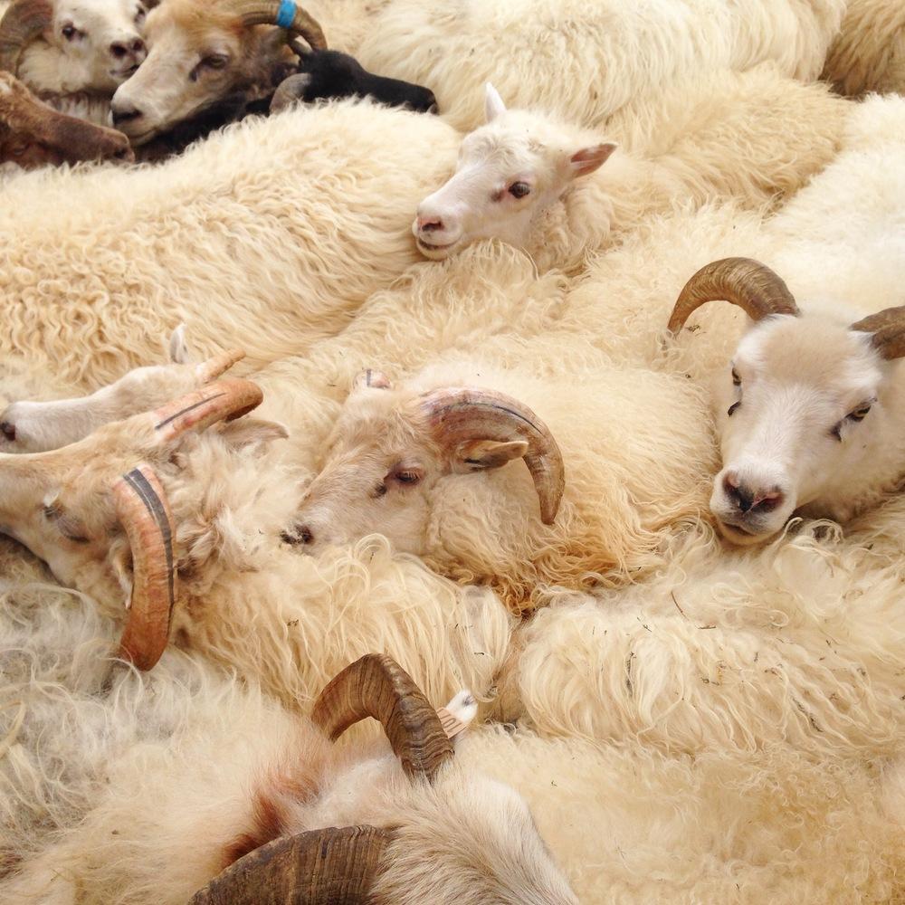 sheeptile