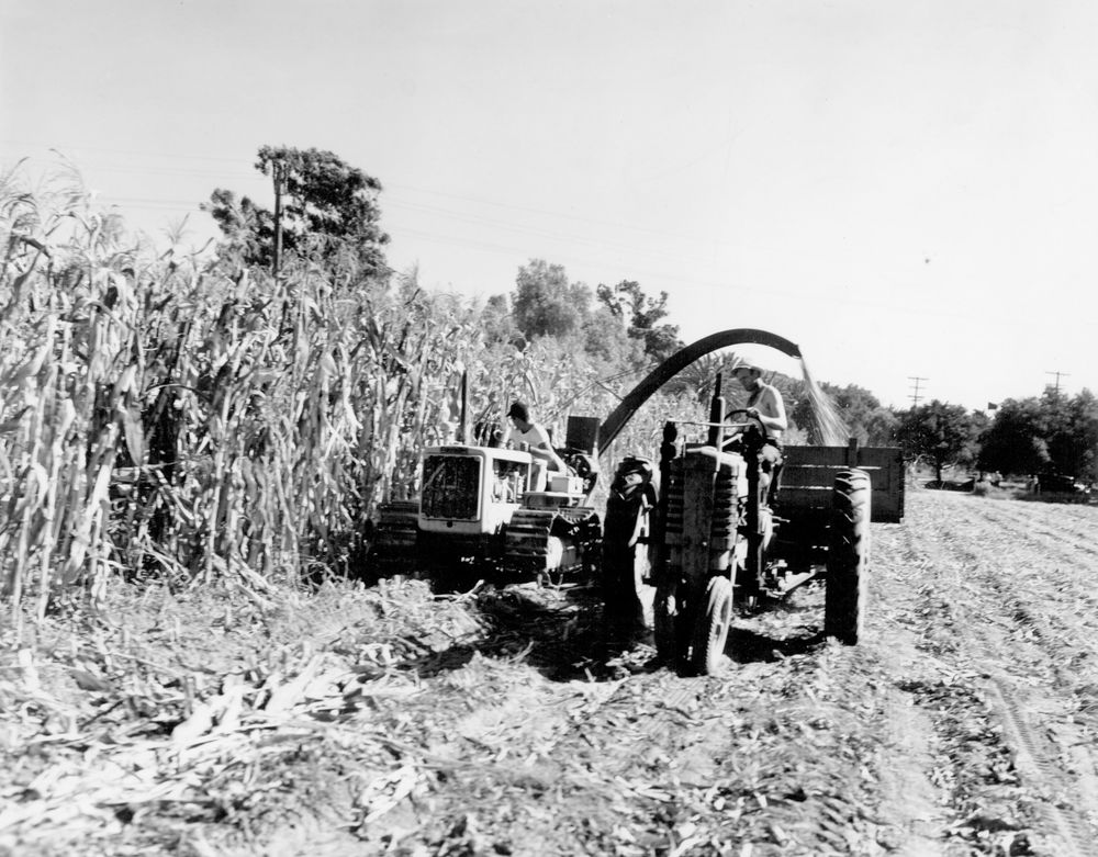 Corn Cutting.jpg