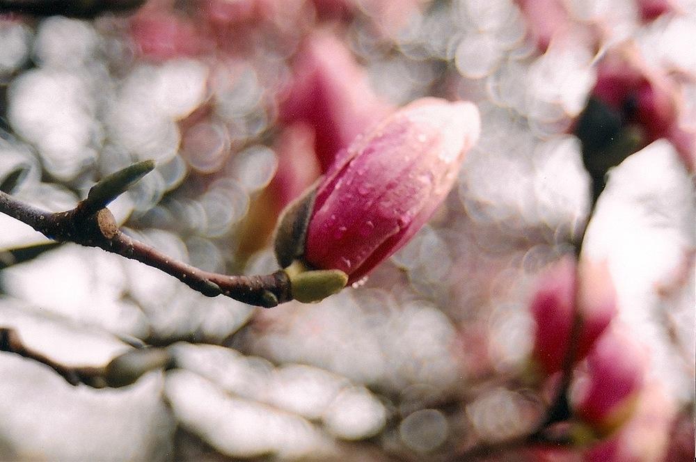 magnolia2 copy.jpg
