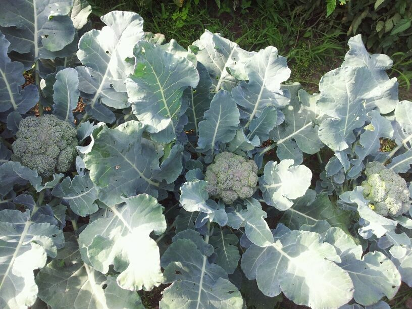 Broccoli is part of the cruciferous vegetable family.