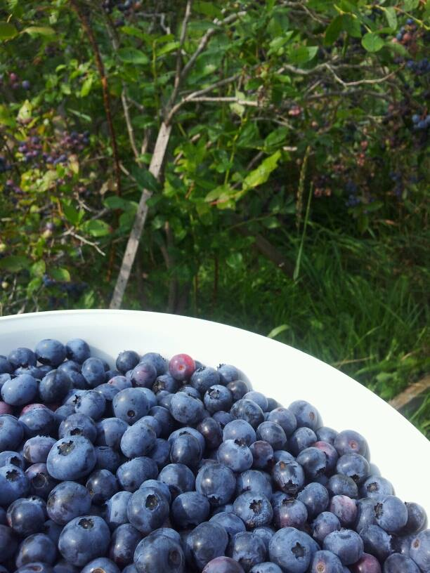 Blueberries are grown in a netted off area.  The birds don't eat the raspberries but love the blueberries.