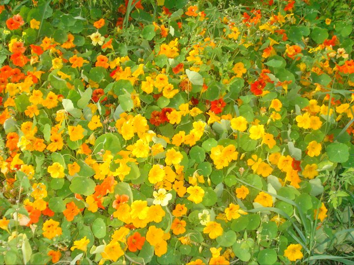 These are nasturtiums . . .  a nutritious, edible flower that has a peppery flavor.
