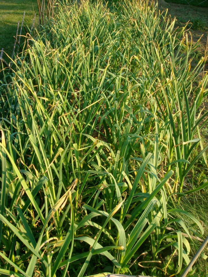 This is a photo of garlic that's ready to harvest.  In the Northeast it is planted in the fall and harvested early summer.