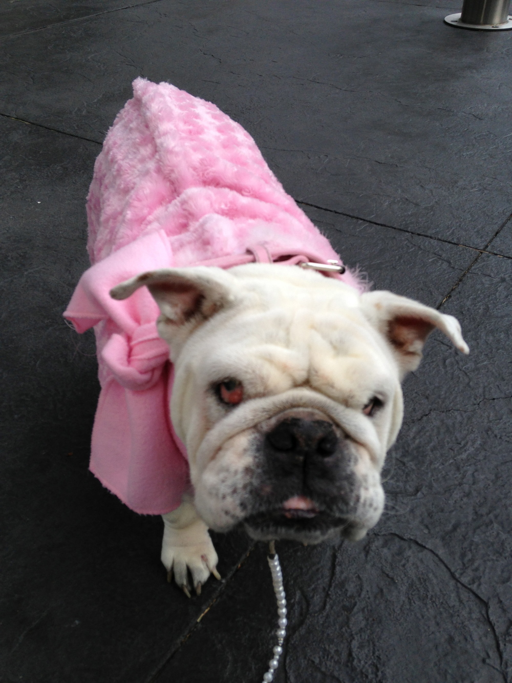 Juliet in her favorite winter coat and scarf.  Her favorite pearl leash.