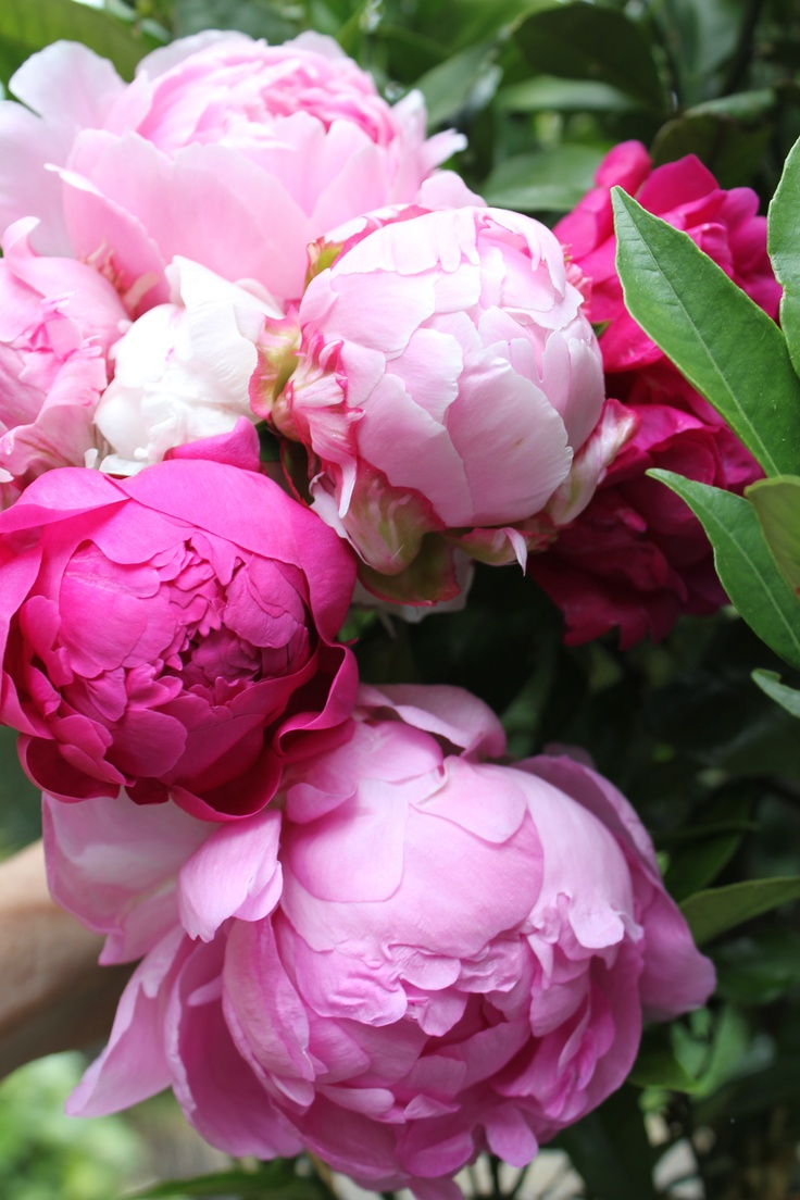 Here's to all the Mothers in the world!  My favorite flower...peonies!