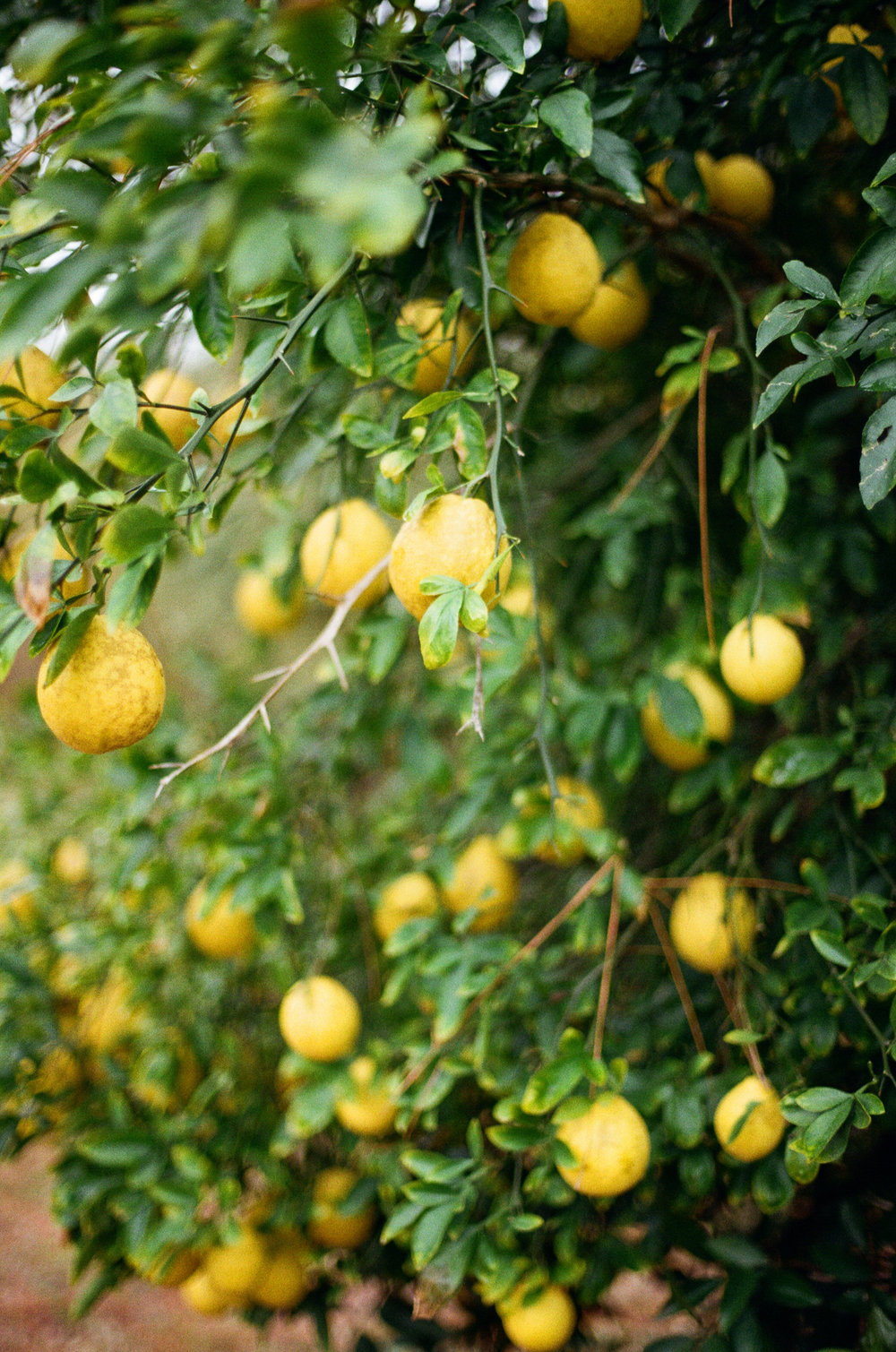 1511 lemon orchard3.JPG