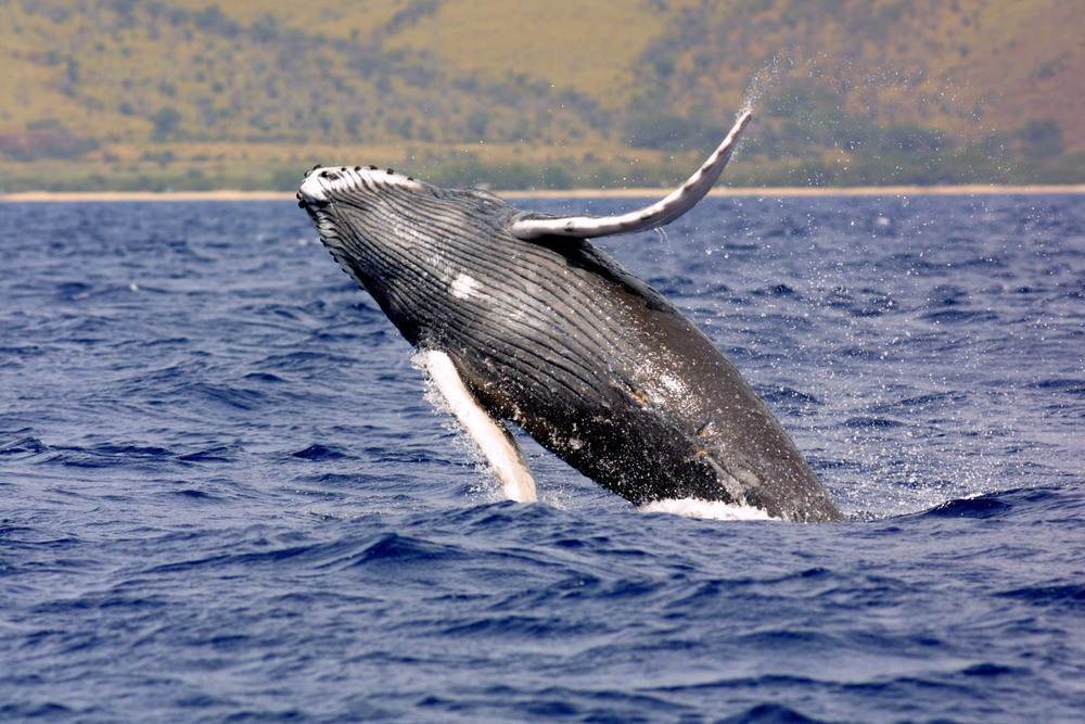 Humpback Whale (Megaptera novaeangliae) Photo: NOAA