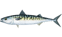 Atlantic Mackerel    Scomber scrombus