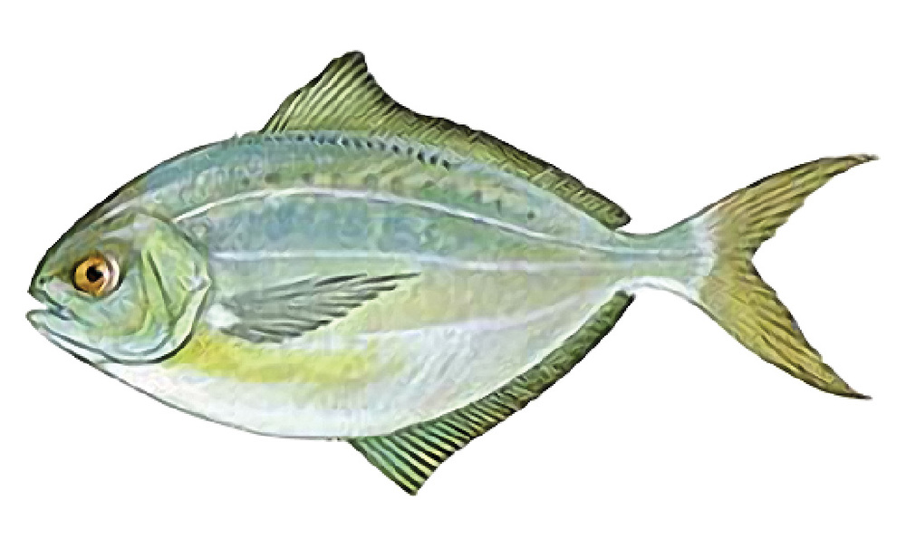 Butterfish    Peprilus triacanthus