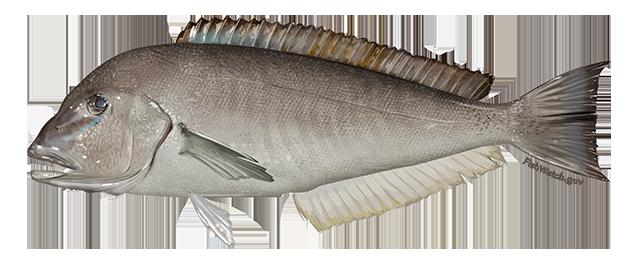 Blueline Tilefish - Caulolatilus microps