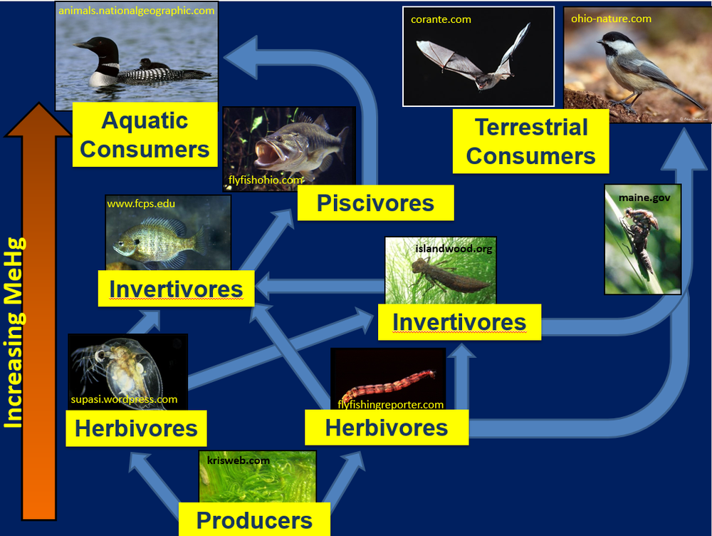 The flux of Hg through aquatic and terrestrial foodwebs