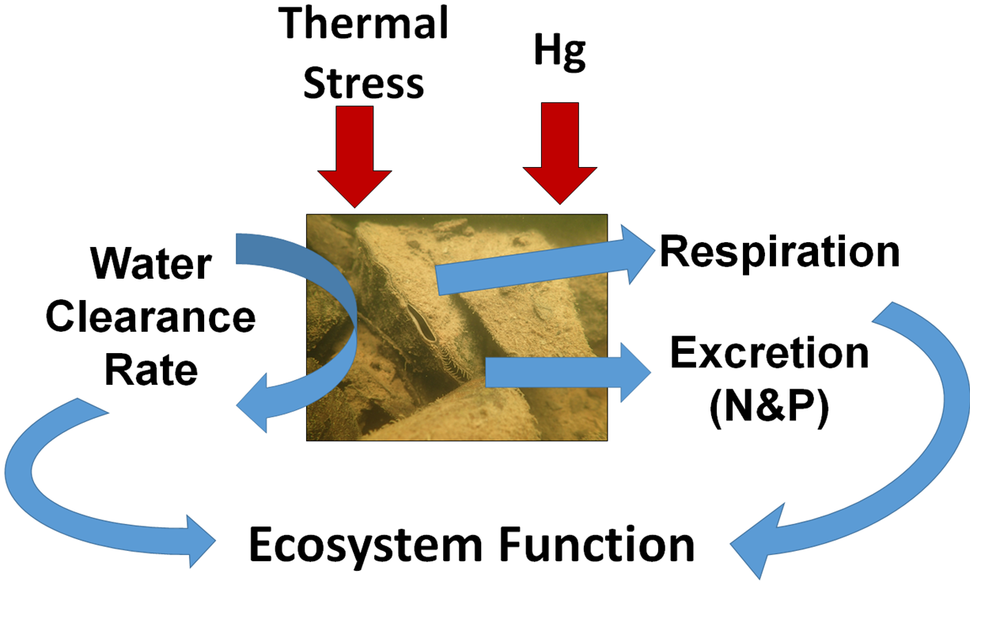 Conceptual diagram of effects of multiple stressors on the physiological functioning of freshwater mussels and the ecosystem services the drive.