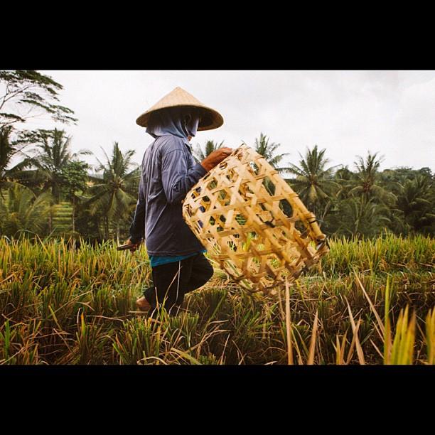 #bali rice field worker. #latergram