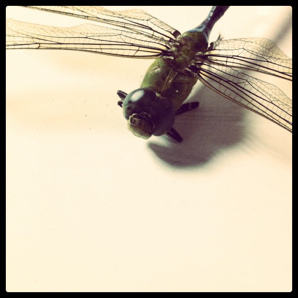 Found this dead guy in the doorway of my apartment. #dragonfly  (Taken with  instagram )