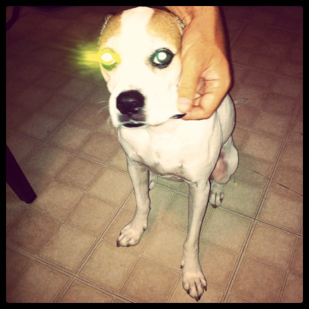 Robo-eye pooch.  (Taken with  instagram )