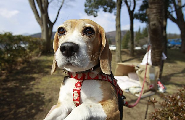 copymattt: If I can't come back as I dog, I hope I don't come back at all. allcreatures: Luna the beagle will happily greet strangers outside her makeshift doghouse in Fukushima, Japan. The dog apparently was being kept outside while her owners stay at an evacuee center. Photo: Wally Santana / AP