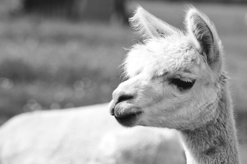 Buying Natural Fibres: Alpaca | thenotepasser.com