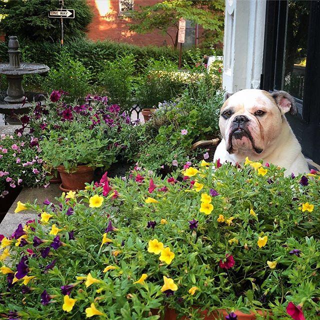 gosh I love her 💕 #americanbulldog #dogsofinstagram #lifeincornhill #summerevenings