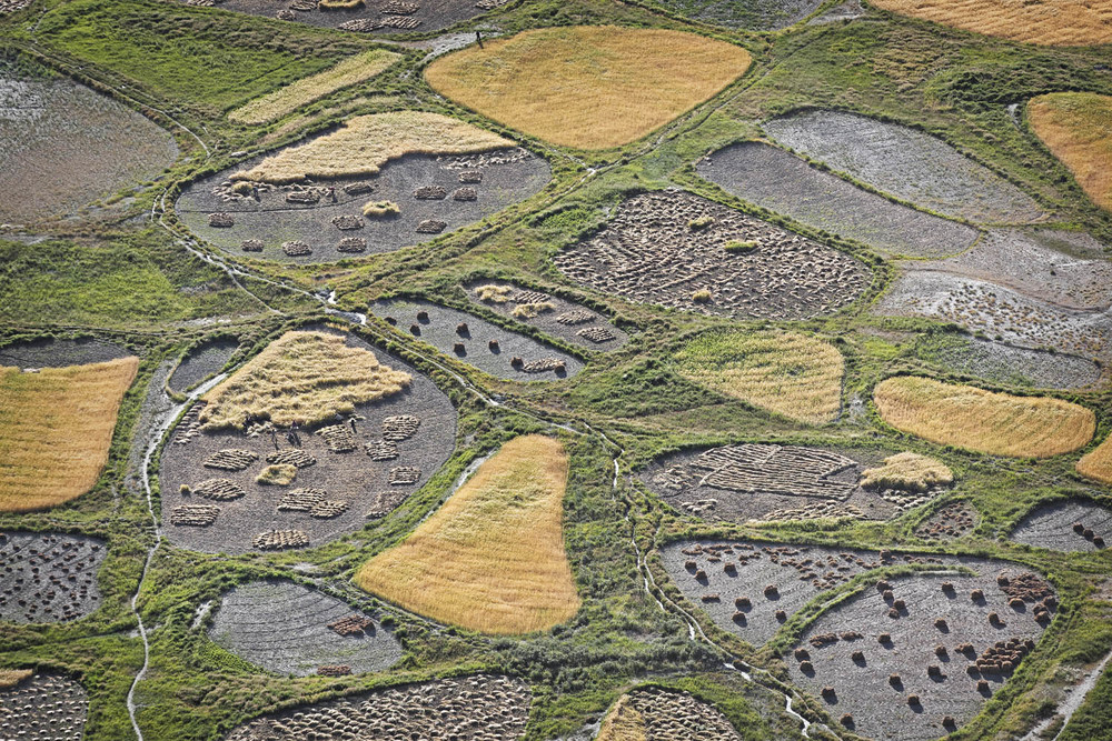 Barley Harvest, Stongde, Ladakh, India
