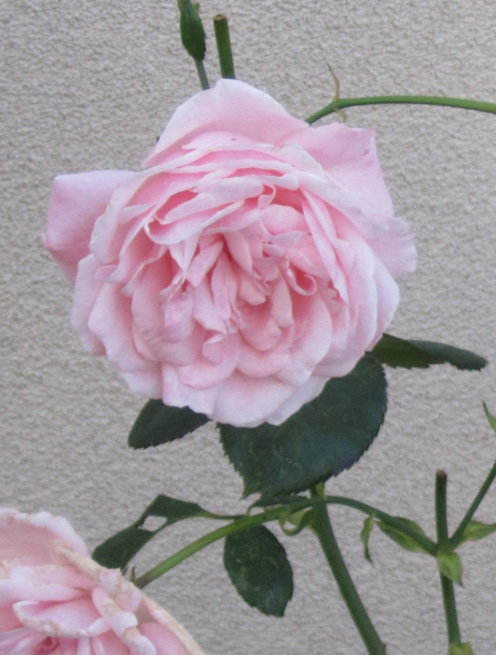 heritage garden roses2.jpg