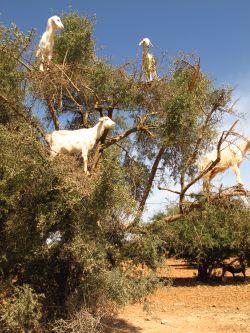 r goats.jpg