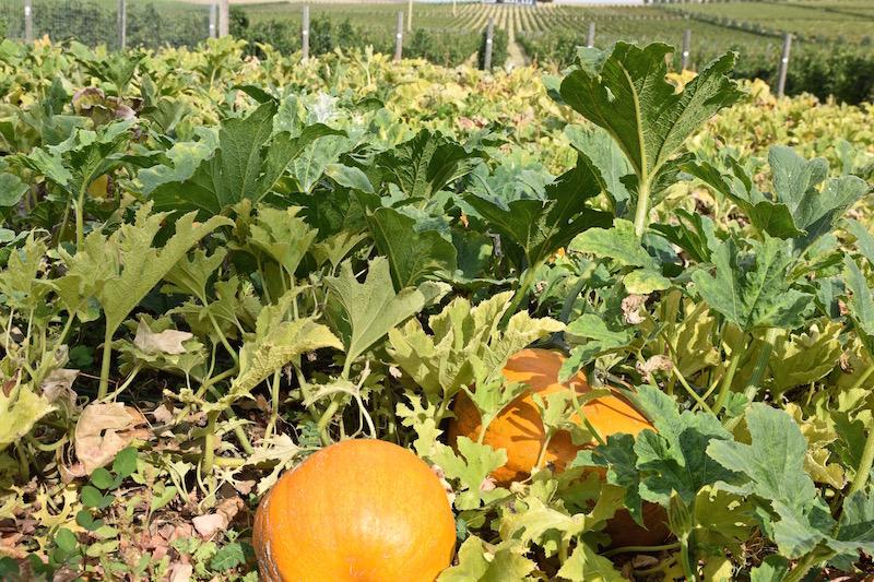 Walla Walla pumpkins
