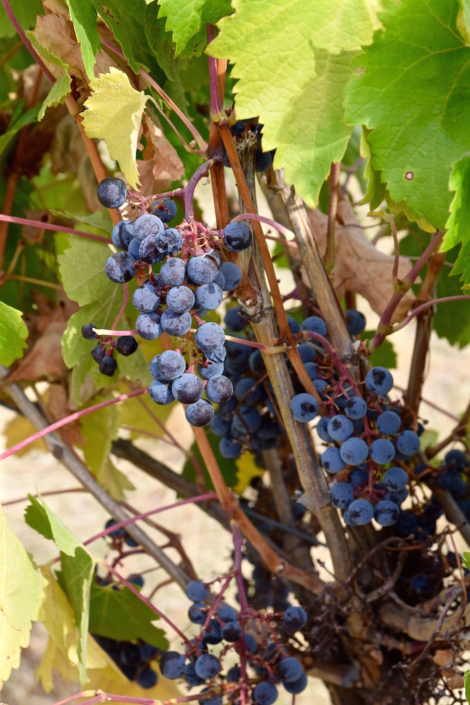 Walla Walla wine grapes.jpg