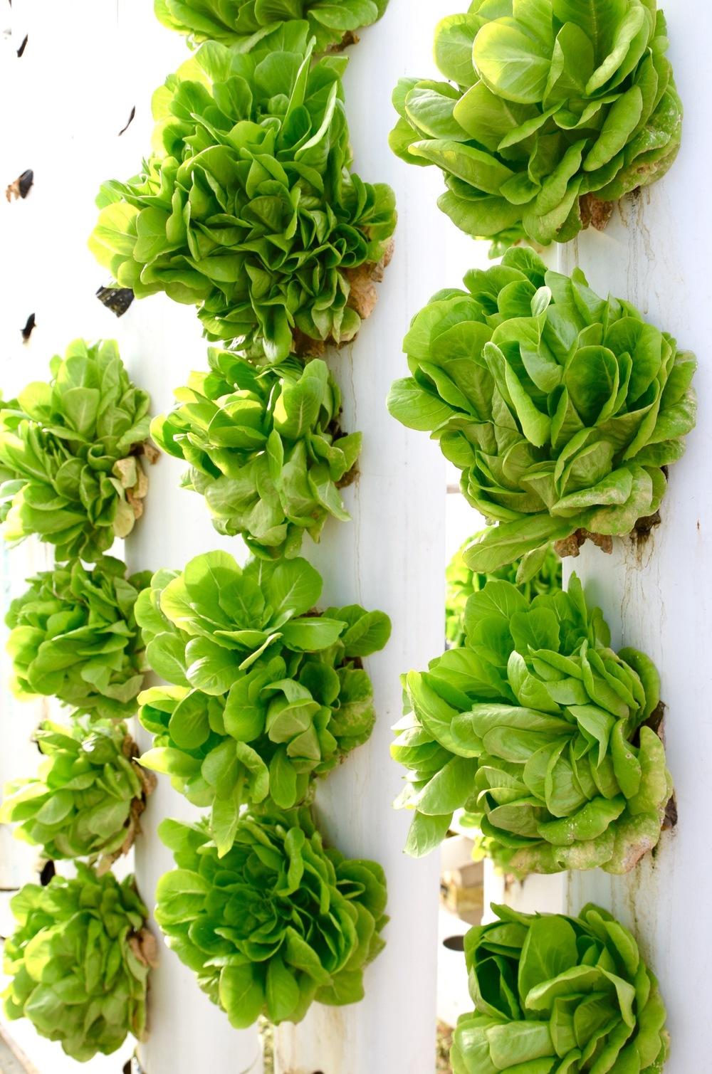 Future Foods Farm Lettuce.jpg
