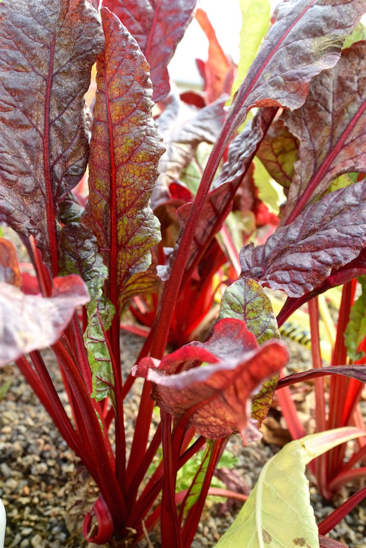 Future Foods Farm Rainbow Chard.jpg