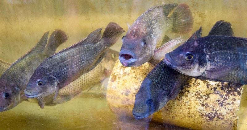 Future Foods Farm tilapia.jpg