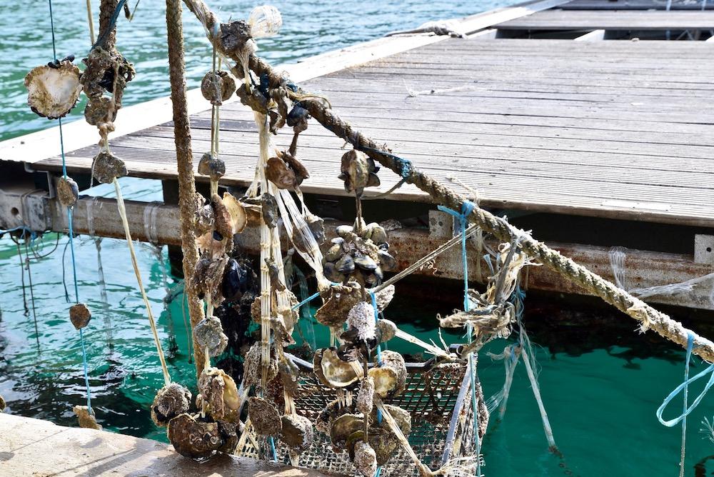 Mali Ston oysters.jpg