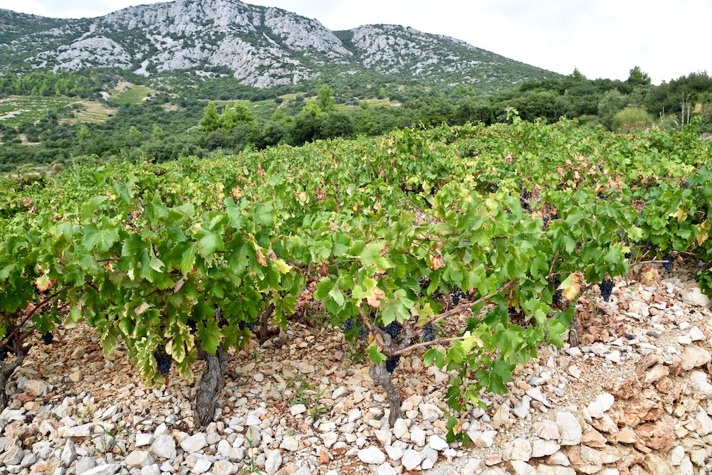 Croatian vineyards.jpg