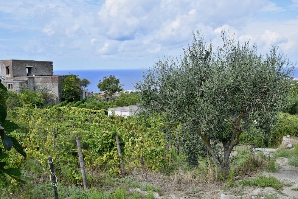 Ischia vineyards.jpg