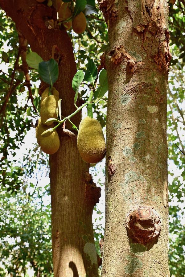 Jackfruit Vinales.jpg