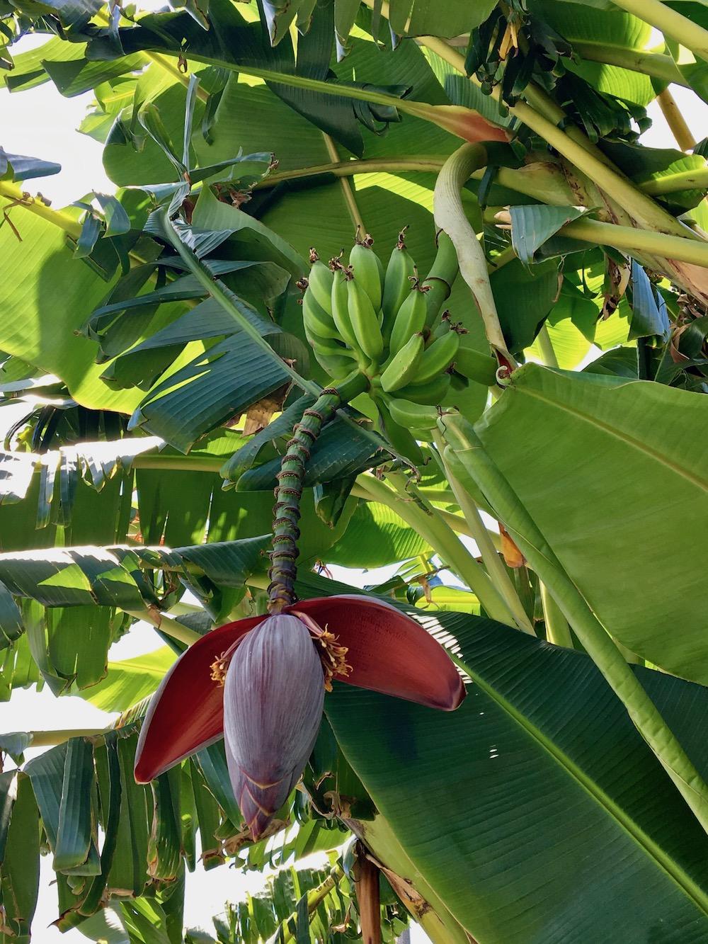 Gangsta Gardener bananas.jpg