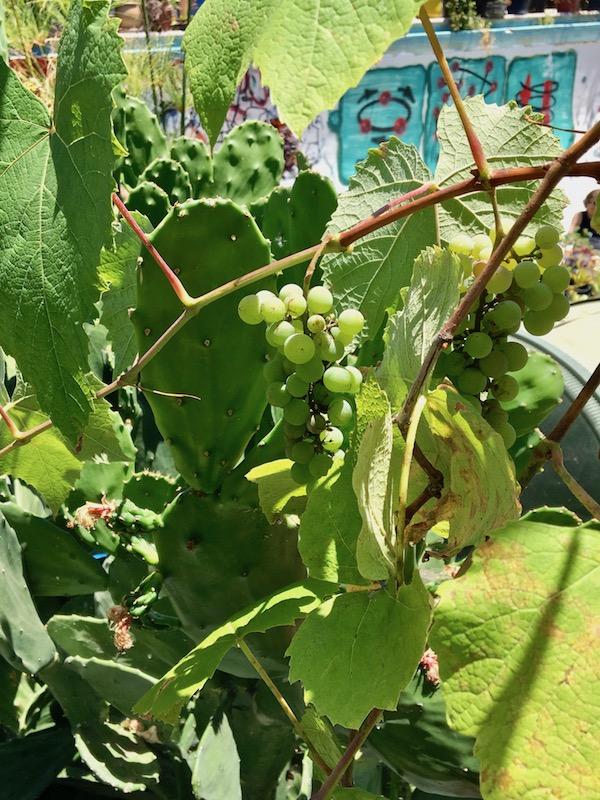 Gangsta Gardener grapes.jpg