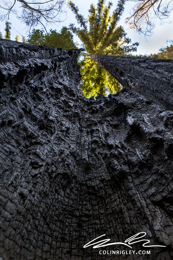 Big Sur Tree.jpg