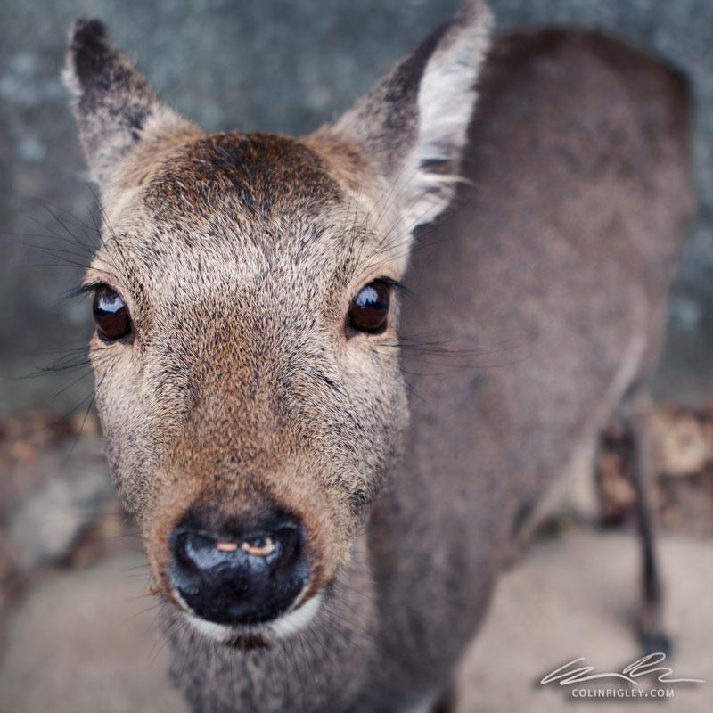 Japan_Deer.jpg