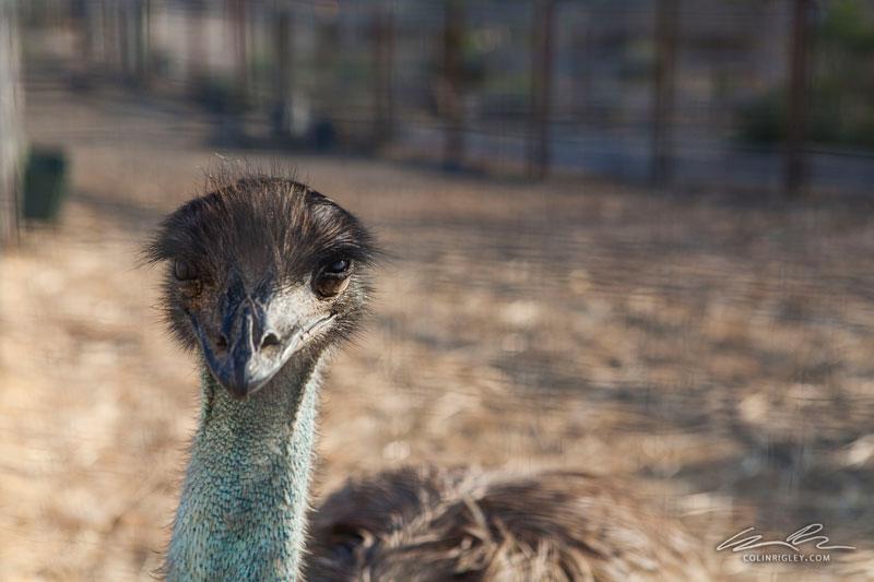 Emu_CR.jpg