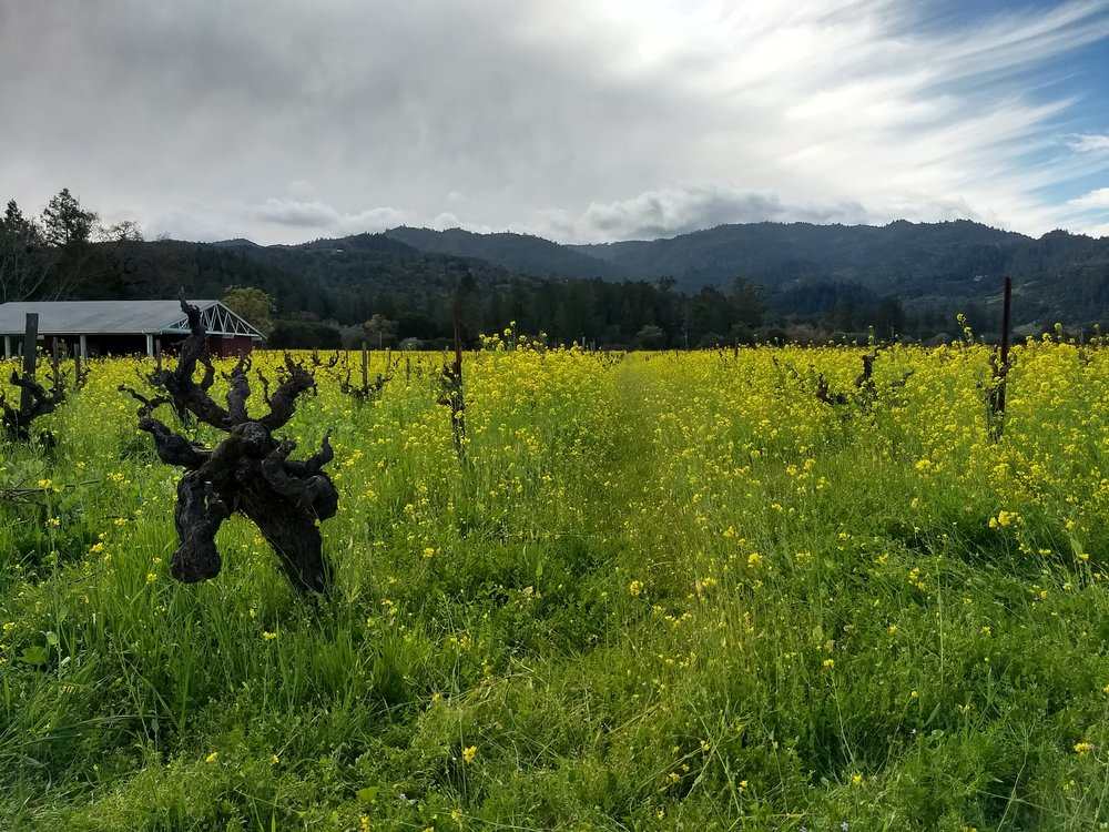 Freshly pruned old-growth vines in a sea of wild mustard in Napa Valley, California