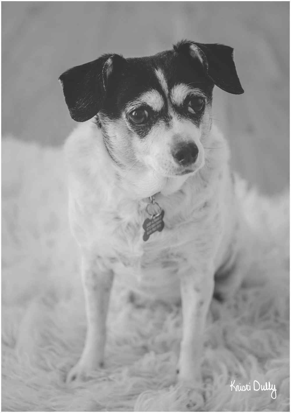 This is Sassy. She is a 10 year old Rat Terroir/Miniature Pincher mix. (but she tells people she's only 7)