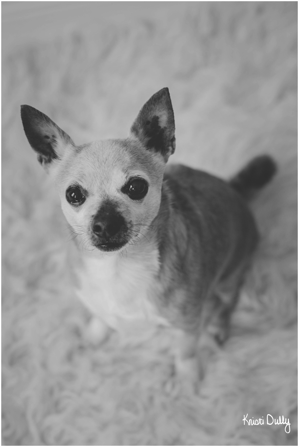 This is Bubbles. He is a 10 year old Chihuahua.