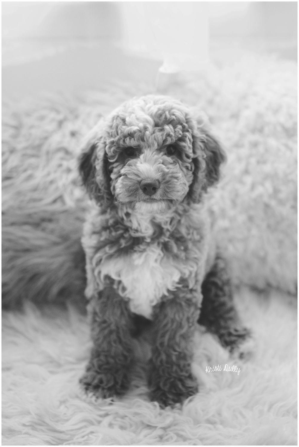 This is Axl. He is a 2 month old Austrailian Labradoodle.