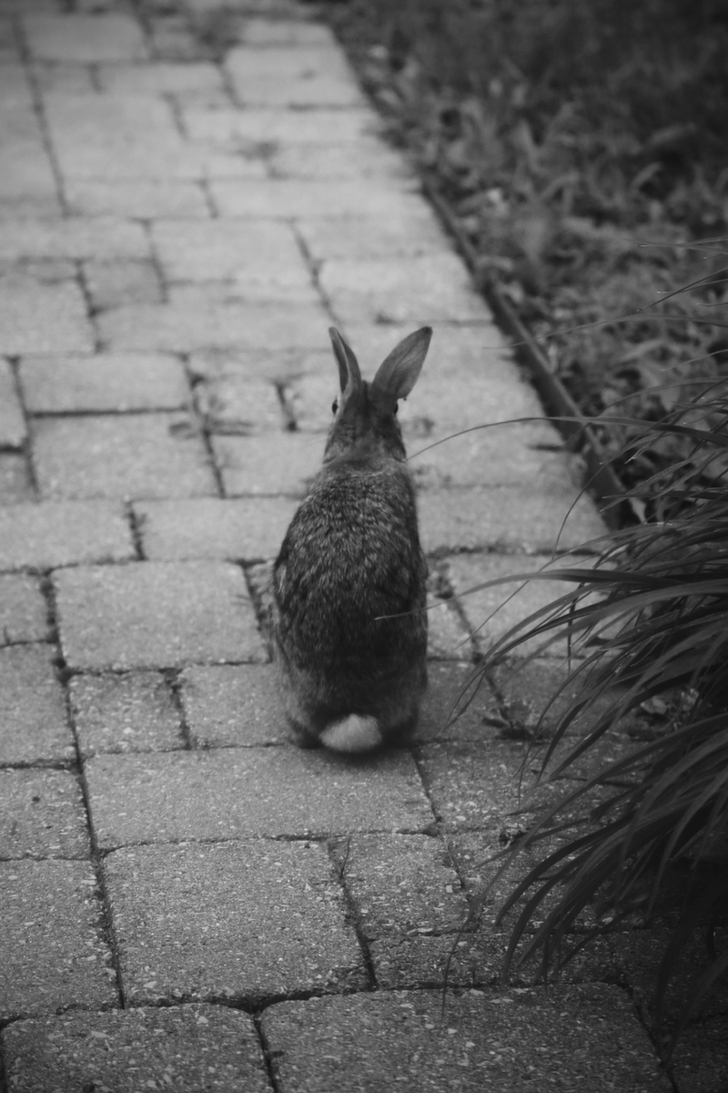 And here is a rabbit in contemplation. You can tell because the photograph is black and white.