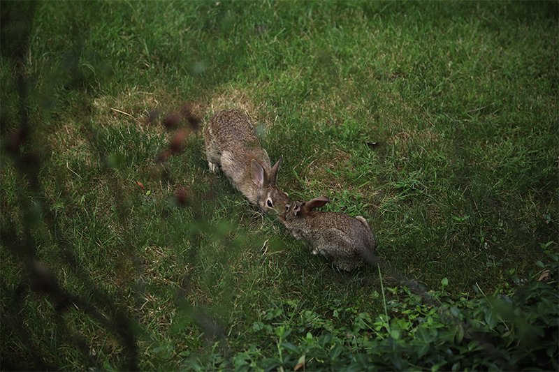 July - Two Rabbits kissing outside my window after they played a fierce game of hide and seek